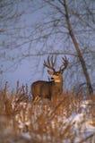 Fanfarrão dos cervos de mula na neve Fotografia de Stock Royalty Free