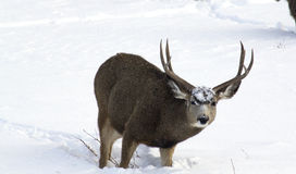 Fanfarrão dos cervos de mula na neve Imagens de Stock