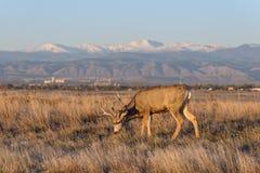 Fanfarrão dos cervos de mula nas planícies altas de Colorado no nascer do sol Fotografia de Stock Royalty Free