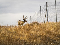 Fanfarrão dos cervos de mula no perfil Fotos de Stock