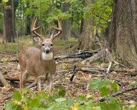 Fanfarrão dos cervos de Whitetail Fotografia de Stock