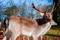 Fanfarrão dos cervos de Whitetail Fotos de Stock