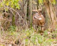 Fanfarrão dos cervos de Whitetail Imagens de Stock Royalty Free