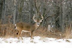 Fanfarrão dos cervos de Whitetail Foto de Stock