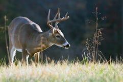 Fanfarrão dos cervos de Whitetail imagem de stock