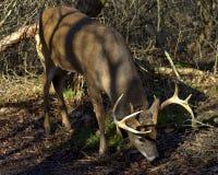 Fanfarrão dos cervos de Whitetail da consultação Fotografia de Stock Royalty Free