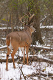 Fanfarrão dos cervos de Whitetail na neve durante a rotina Imagens de Stock Royalty Free