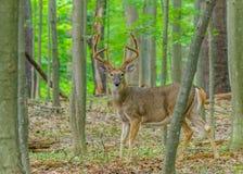 Fanfarrão dos cervos de Whitetail no veludo Imagem de Stock
