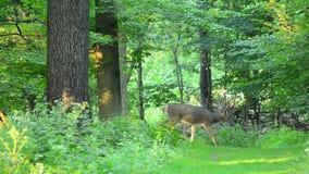 Fanfarrão dos cervos de Whitetail no veludo vídeos de arquivo
