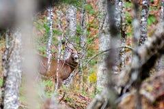 Fanfarrão dos cervos na floresta Fotografia de Stock Royalty Free