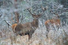 Fanfarrão dos veados vermelhos Cervidae adulto poderoso majestoso dos cervos em Thickett da floresta do inverno, Bielorrússia Cen Imagem de Stock