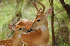 Fanfarrão e jovem corça da cauda branca Imagem de Stock