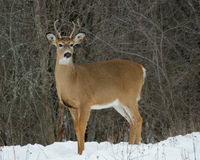 Fanfarrão novo dos cervos da branco-cauda Imagens de Stock