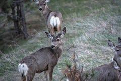 Fanfarrão novo dos cervos de mula no veludo Fotos de Stock