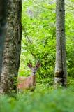 Fanfarrão novo dos cervos na floresta Foto de Stock