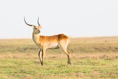 Fanfarrão vermelho do lechwe que olha atrás dele Foto de Stock