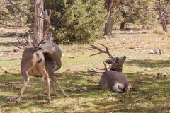 Fanfarrões dos cervos de mula Imagem de Stock Royalty Free
