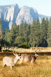 Fanfarrões dos cervos de mula com grandes chifres Imagens de Stock