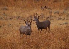 Fanfarrões dos cervos de mula no alerta Fotografia de Stock Royalty Free