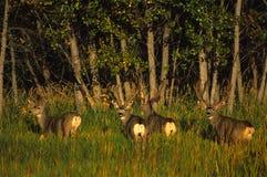 Fanfarrões dos cervos de mula no veludo Fotografia de Stock Royalty Free