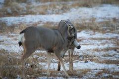 Fanfarrões dos cervos de mula que lutam em Oregon fotos de stock