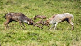 Fanfarrões dos gamos - dama do Dama, lutando em um prado de Warwickshire, Inglaterra imagem de stock