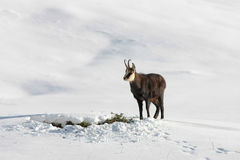 Fanfarrão da cabra-montesa na neve Imagem de Stock Royalty Free