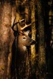 Fanfarrão dos cervos de Whitetail Foto de Stock Royalty Free