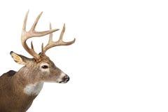 Fanfarrão enorme do whitetail isolado no fundo branco Imagens de Stock