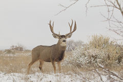 Fanfarrão enorme dos cervos de mula no campo Fotos de Stock