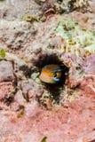 Fangblenny bluestripped nascondentesi a Ambon, Maluku, foto subacquea dell'Indonesia Immagine Stock