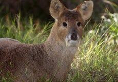Fanged hjortar Fotografering för Bildbyråer