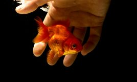 Fangen eines Goldfisch Underwater mit einer bloßen Hand, Fanggoldfisch b lizenzfreie stockbilder