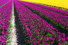 Fangen Sie Ansicht von gelben und purpurroten Tulpenreihen auf Stockfotografie