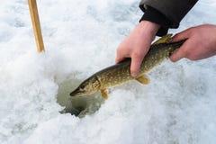 Fangen Sie und geben Sie kleine Spiessregel unter Winterfischen frei Fischer übergibt das Freigeben von Fischen in Eisloch, Nahau Lizenzfreie Stockfotos