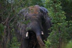 Fango que lanza masculino del elefante de Bull en el parque nacional de Hwage, Zimbabwe, elefante, colmillos, casa de campo del o Imagen de archivo
