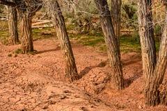 Fango seco rojo en árboles Imagen de archivo