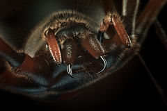Fangs of hairy spider -3D artwork Royalty Free Stock Photography