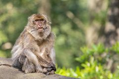 Adult Macaque Pulling a Funny Face in the Sunshine. An adult Barbary macaque sat on a wooden log in the left of the frame looking past the camera with its lower stock image