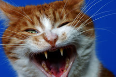 Fangs wild ginger cat Stock Photography