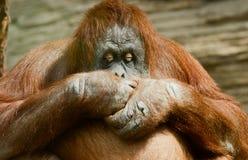 fani małpy poza Zdjęcia Stock