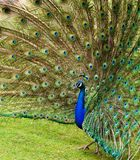 Fanned feathers of a Peacock. Peacock fans it feathers out while walking on green grass Stock Image