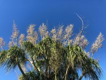 Top of palm trees against blue sky Royalty Free Stock Photography