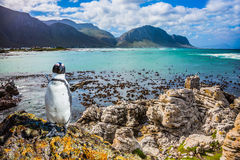 Fanny african  penguin Royalty Free Stock Image
