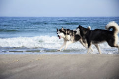 Fanny Dogs in a Black Sea Royalty Free Stock Photography