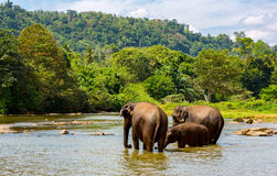 Fanny elephants in jungle river Royalty Free Stock Photography