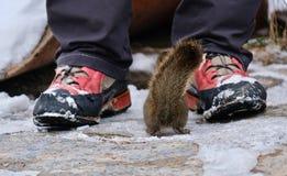Squirrel facing human. stock images