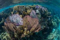 Fans de mer colorées s'élevant sur le récif des Caraïbes Images stock