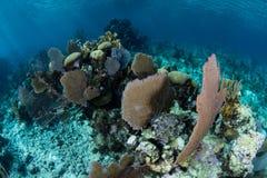 Fans de mer et coraux renforcement de récif dans les Caraïbe Photographie stock libre de droits