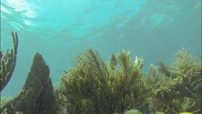 Fans de mer sur le récif coralien banque de vidéos